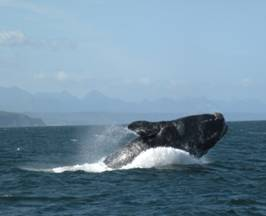 A Southern Right Whale breaching