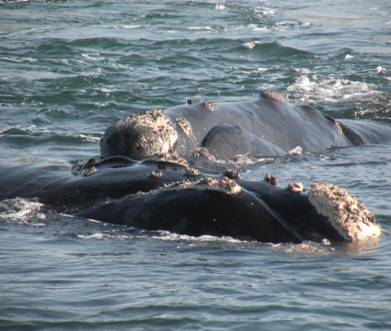 Picture of the day: Encountered 7 Southern Right Whales
