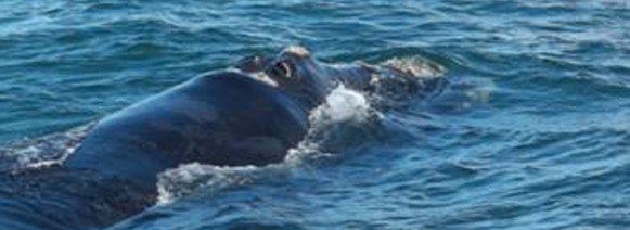 Picture of the day-Southern Right whale heading south