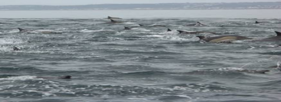 Picture of the day: Common Dolphins