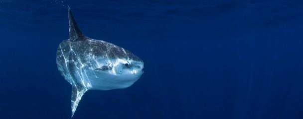 Mola mola with reflection, Pacific Ocean, California