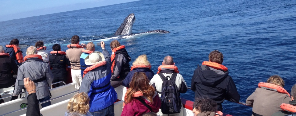 Humpback_whale_playing_close_to_boat_plett
