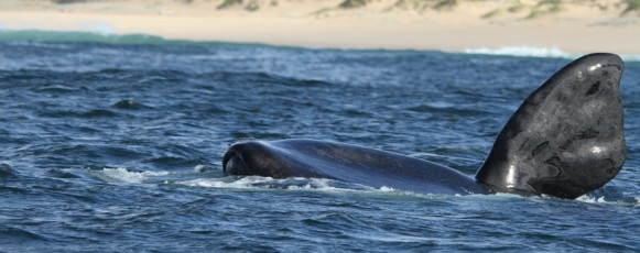 Southern_Right_Whale_flipper