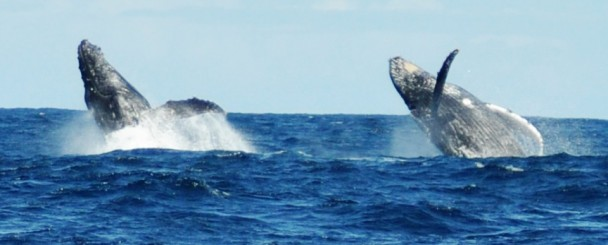 Humpback_Whales_Dubble_Breaching_Plettenberg_Bay - h