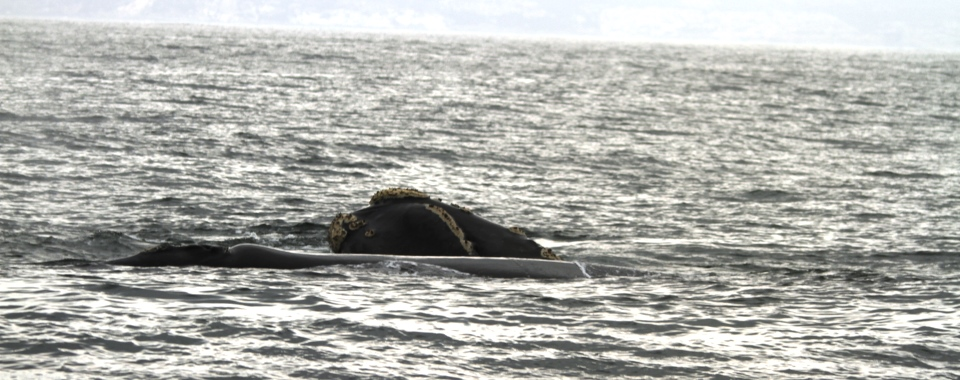Animals_Memories_Souther_Right_Whale_Plett -