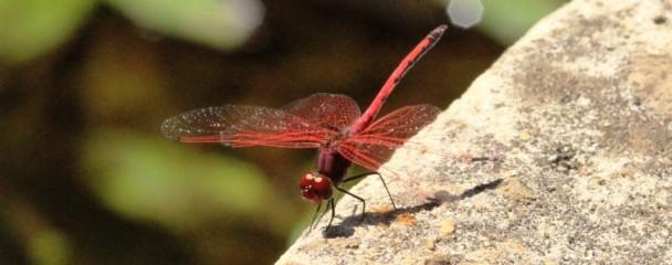 Migration_Dragonfly_Plettenberg_Bay -