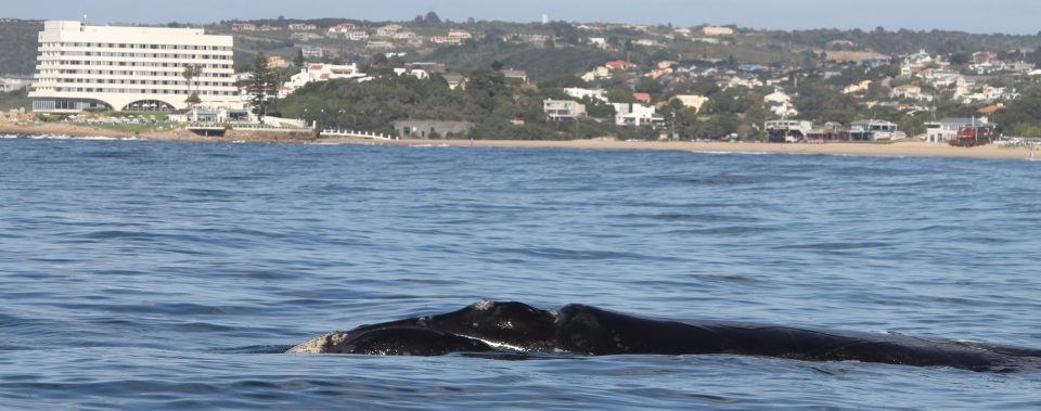 Whaling_Beacon_Island_Souther_Right_Whale -