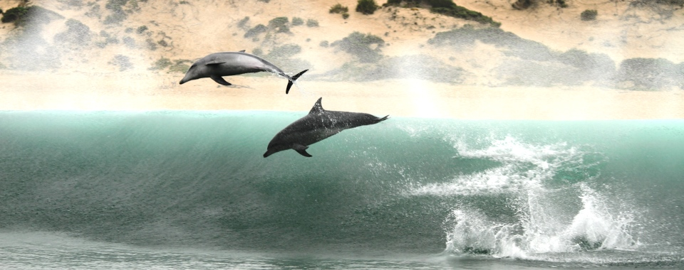 Bottlenose_Dolphin_Breaching_Waves_Plettenberg_Bay -