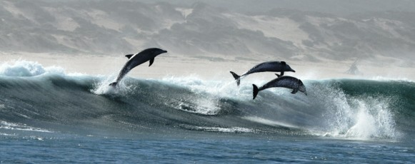 Bottlenose_Dolphin_Playing_Waves_Plettenberg_Bay -