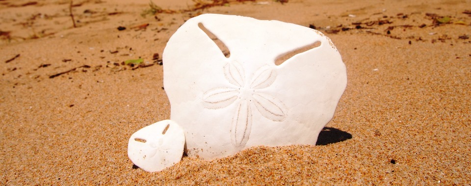 Facts On Pansy Shells Ocean Blue Adventures