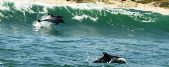 Bottlenose_Dolphins_Playing_In_Plettenberg_Bay -