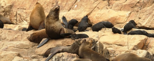 Cape_Fur_Seals_On_Robberg_Plett