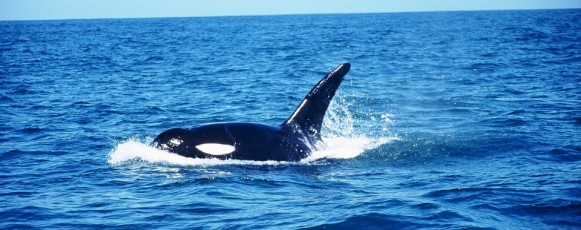 Orca_Plettenberg_Bay -
