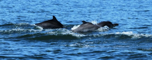 Humpback_Dolphin_Sousa_Plumbea_Plettenberg_bay -