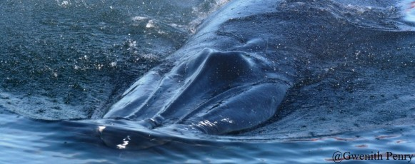 Bryde's_Whales_characteristic_rostral_ridges_Plettenberg_Bay