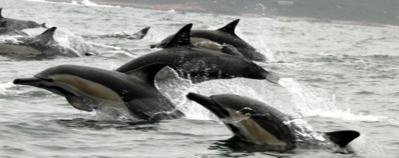 Commond_Dolphins_Plettenberg_Bay
