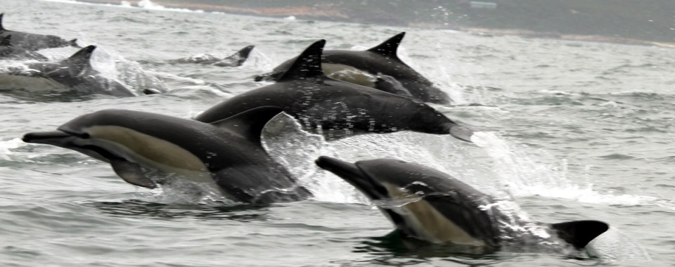 Commond_Dolphins_Plettenberg_Bay