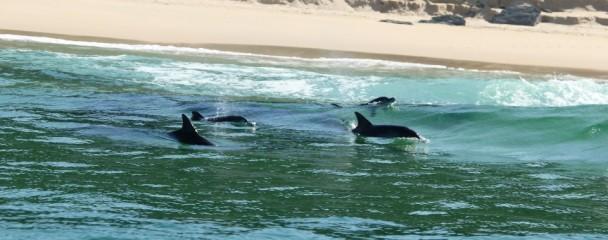Bottlenose_Dolphins_in_Surf_Plett -