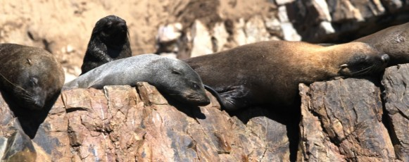 Cape_Fur_Seal_Sleeping