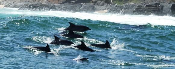 Bottlnose_Dolphin_plettenberg_Bay_relaxing_Surf
