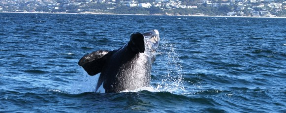 Souther_Right_Whale_breaching_plettenberg