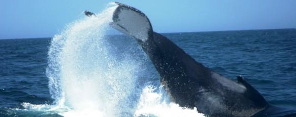 Humpback_Whale_Plettenberg_Bay_Tailflipp