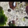 12 cape urchin