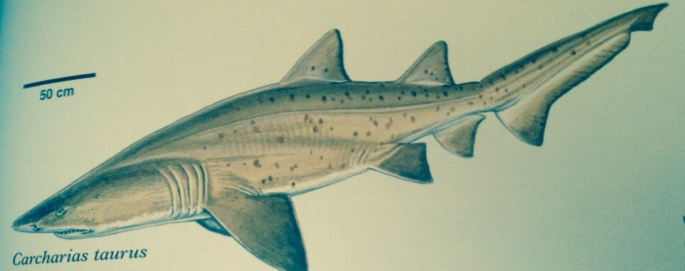 Spotted_Ragged-tooth_sharks -