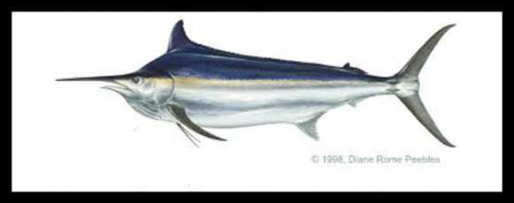 26 black marlin banner
