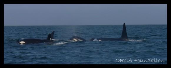 44-orca