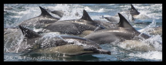 50-common-dolphin