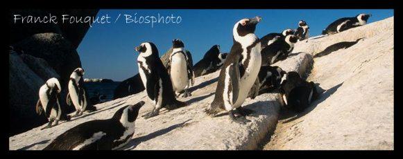 afr-penguin