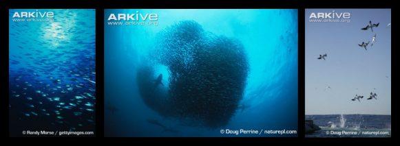 71 sardine run banner