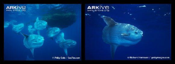 86 sunfish banner